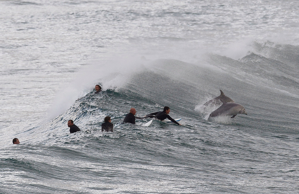. Surfers wait for waves as dolphins jump around at Bondi Beach in Sydney September 25, 2012. Dolphins are a common sight along Sydney\'s world famous beaches, as they venture close to shore in search of small fish. REUTERS/Daniel Munoz