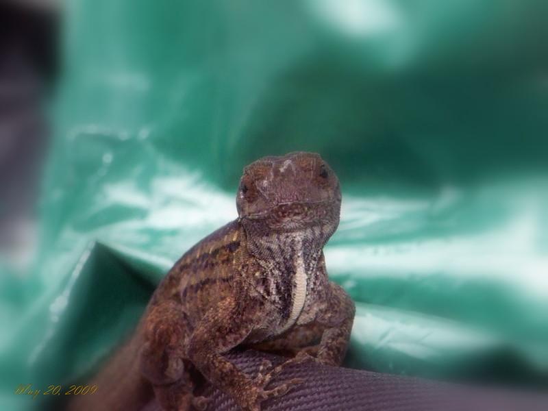 Gekco Lizard 052009.jpg