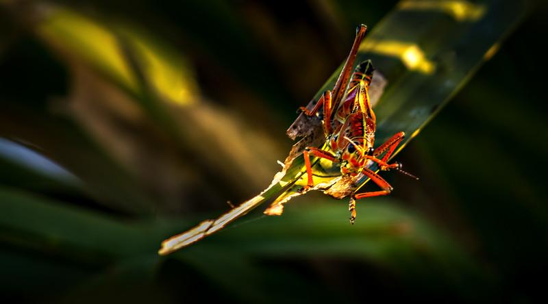 Grasshoppers 91.jpg