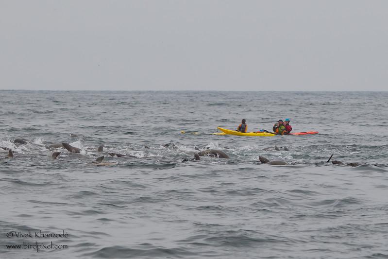 Three Kayakers watching the feeding frenzy of Humpback whales & California Sealions - Near Moss Landing, CA, USA
