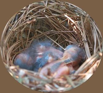 200304 Cardinal Nest in my Hollies