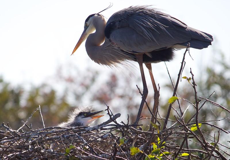baby and mama heron