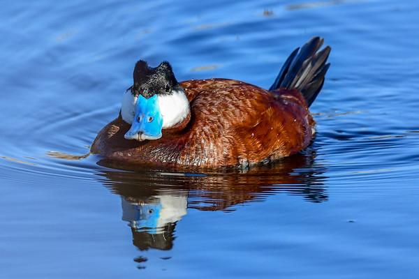 5-6-18 Ruddy Duck