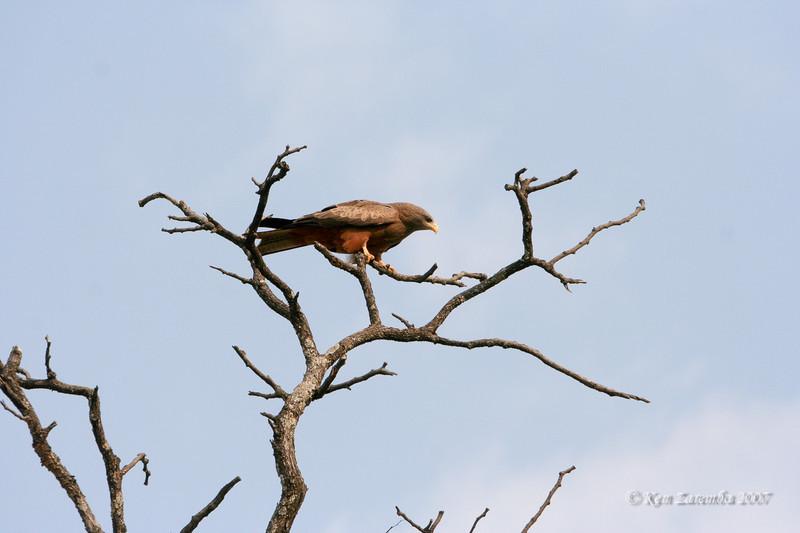 Yellow-billed Kite, Moremi Game Reserve, Okavango Delta, Botswana