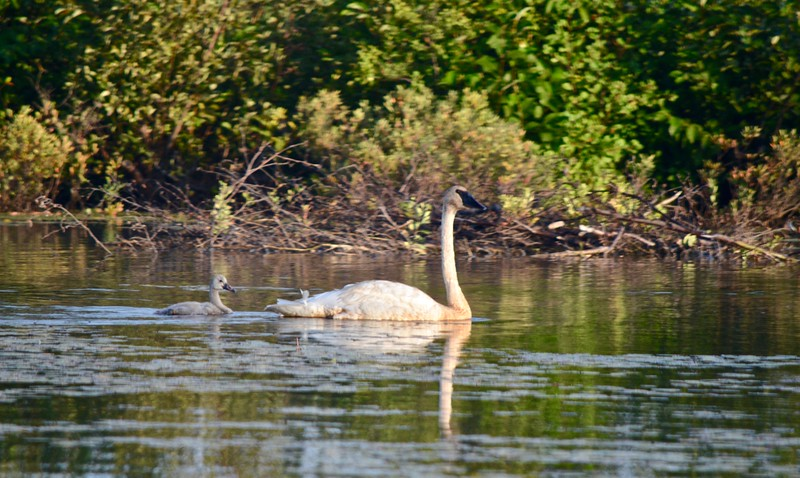 a swan and a fledging in the water