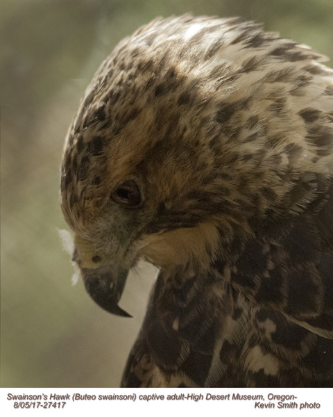 Swainson's Hawk AC27417.jpg