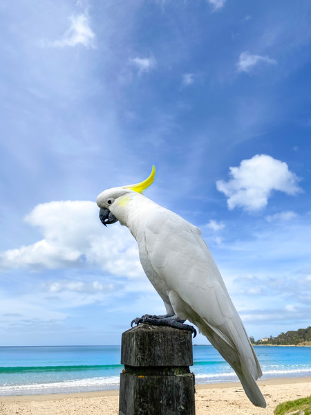 Friendly cockatoo at the beach
