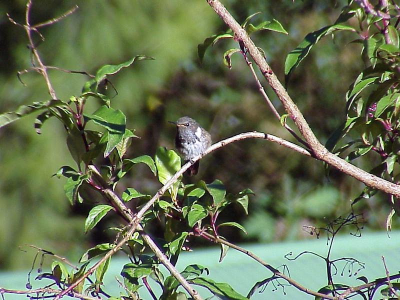 Volcano Hummingbird male at Savegre Mountain Lodge Costa Rica 2-14-03 (50898332)
