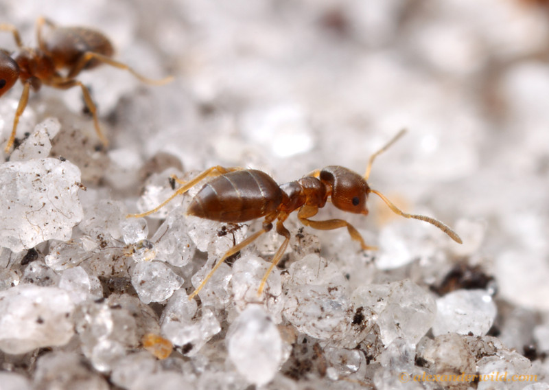 Brachymyrmex obscurior is a South American species that has been introduced to tropical and subtropical climates around the world.  Archbold Biological Station, Florida, USA