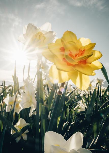 Fancy Daffodils