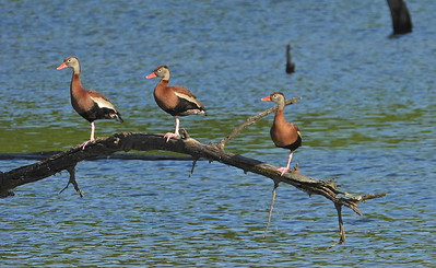 Black-Bellied Whistling Ducks_Scott Co., Mo. 05.13.19