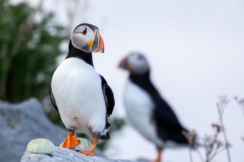 MinganArchipelago_ZachBaranowski_puffin-pair-ile-aux-perroquets.jpg