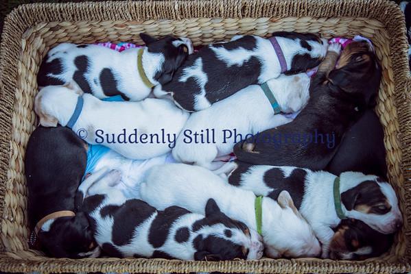 5-15 Wentworth Puppies (10 days old)