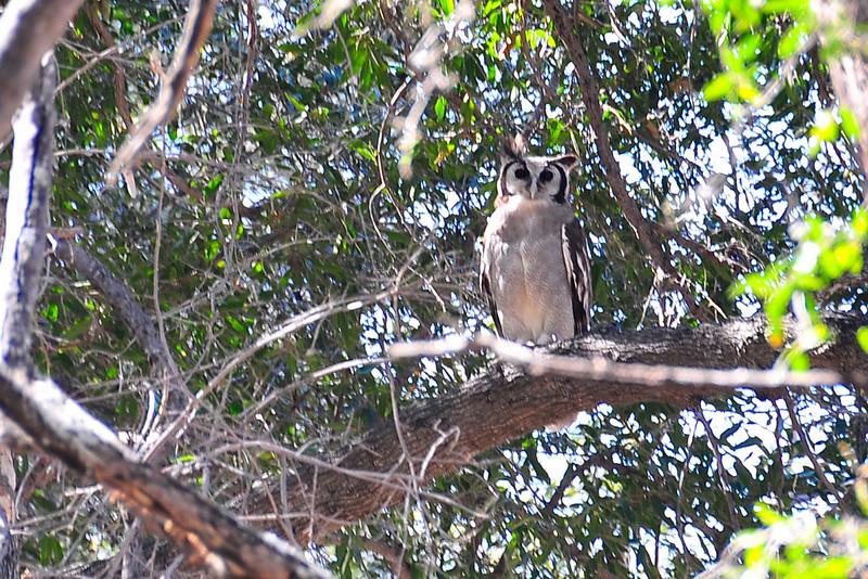 EPV0961 White-faced Scops Owl