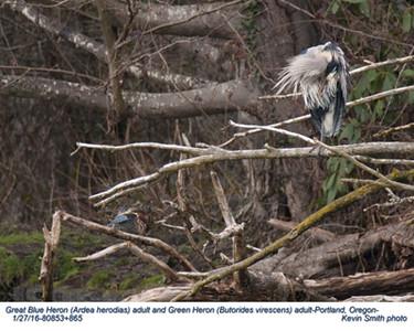 Great Blue Heron & Green Heron A80853+865.jpg