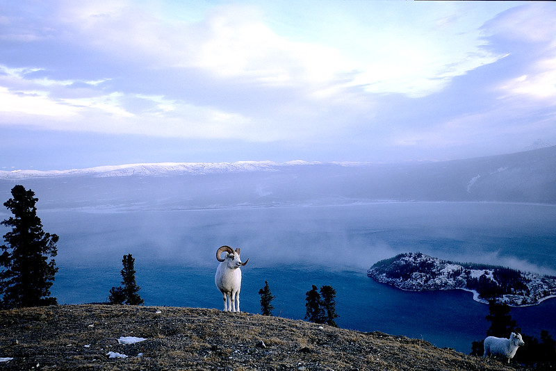A white dall sheep ram at the peak of a hill above Kluane Lake, in Kluane National Park, in November during the rut, Canada, North, Yukon