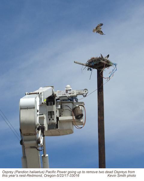 Osprey nest with 2 dead birds A33016.jpg