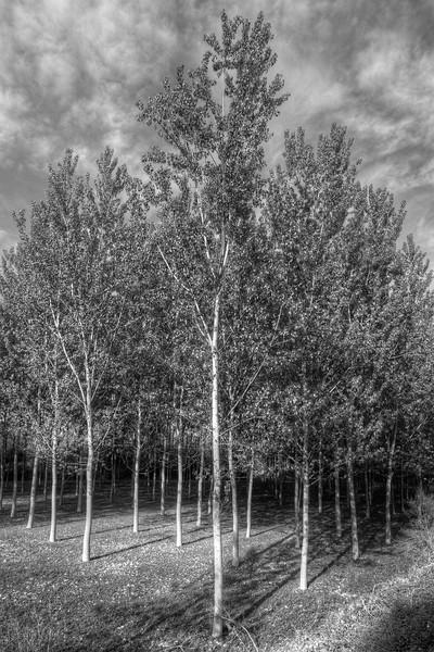 Poplars - Near Lido Po, Guastalla, Reggio Emilia, Italy - March 31, 2012