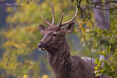 Antelope & Deer.