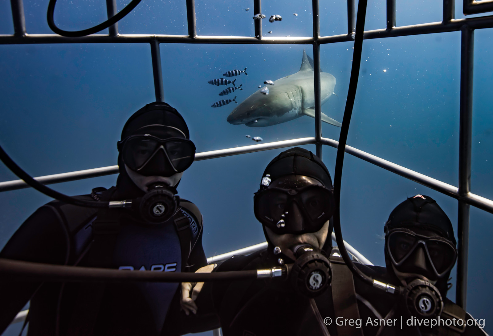 Diving with great white sharks