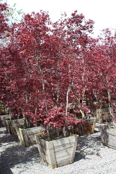 Acer palmatum 'Bloodgood' Clump, Specimen, #30 box.JPG