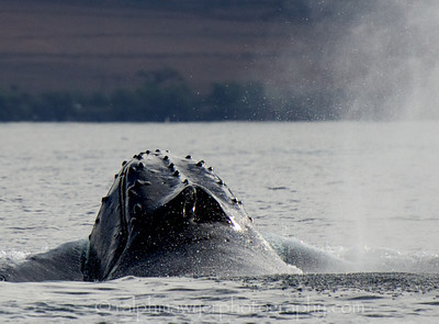Maui - Feb 2013_Humpback Whales