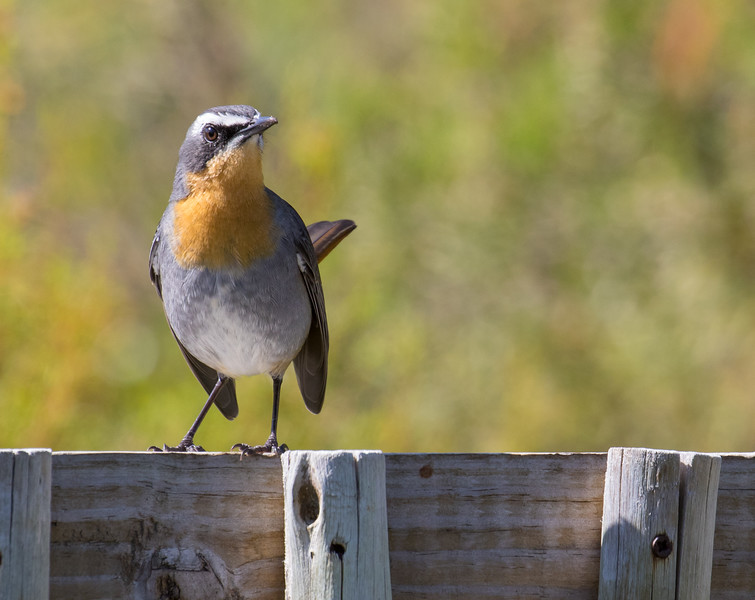 Cape Robin Chat l (Hermanus 2017)