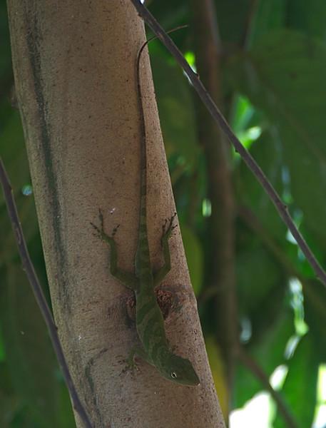 ? Lizard