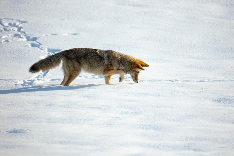 387A0029 Coyote, paw raised.jpg
