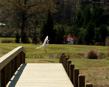 Egrets in our yard.