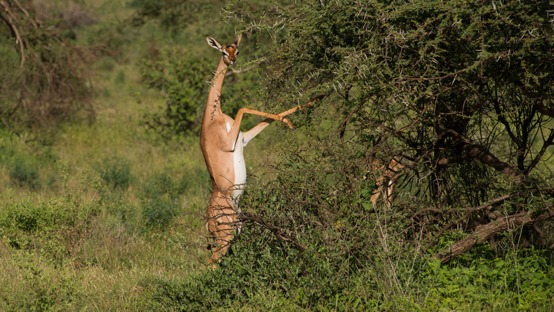 Gerenuk, Litocranius walleri. Samburu, Kenya.