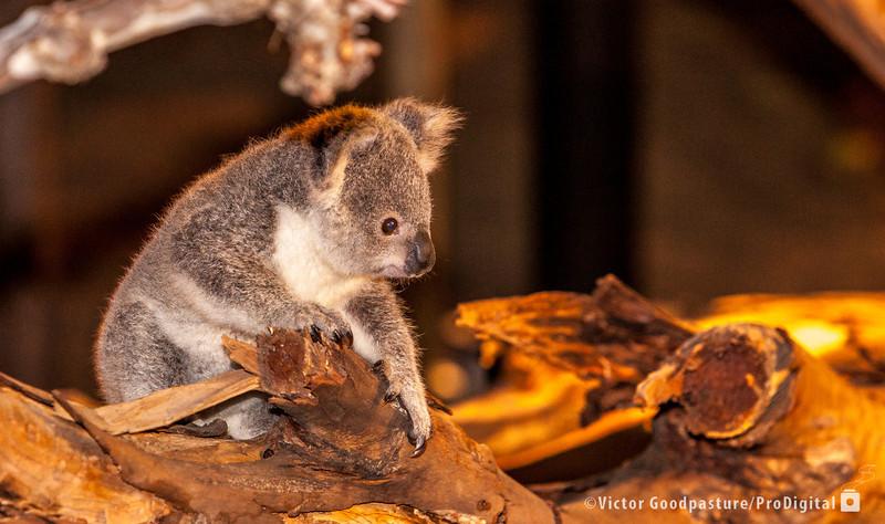 Koalafornia-28.jpg