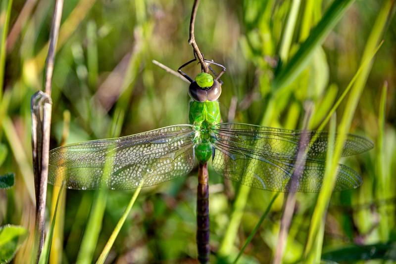 Green-Darner-Dragonfly-fusionSpringfield.jpg