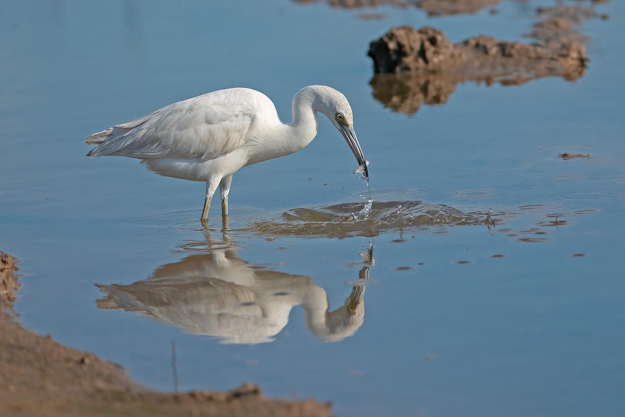 IMAGE: https://photos.smugmug.com/Beautyinthetreesandintheair/Herons-egrets-and-other-large-wading-birds/i-QVtCRnR/0/41074505/X3/Little%20blue%20heron%209%202-22-2020-165-X3.jpg