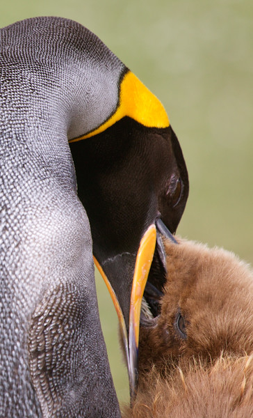 King penguin feeding chick, Volunteer Point, Falkland Islands