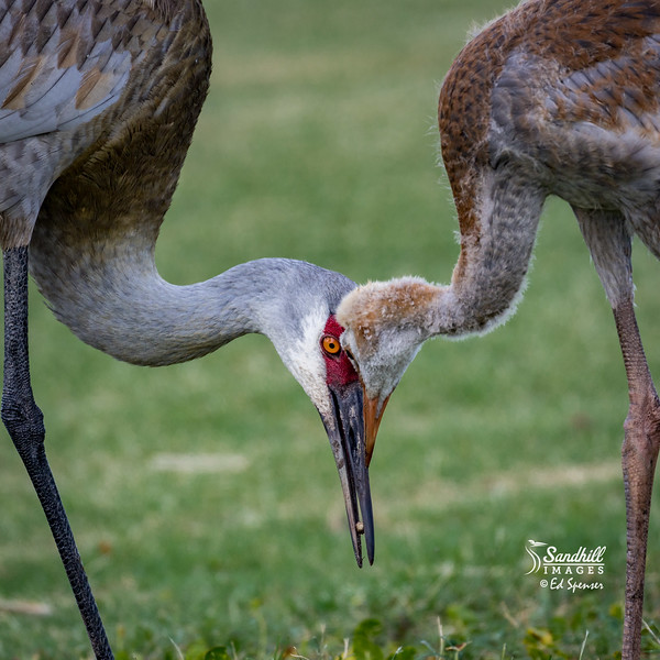 Sandhill crane with colt feeding