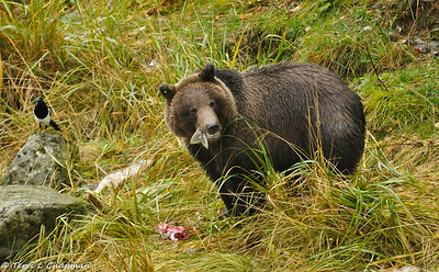 Grizzlies and wildlife of Haines, Alaska