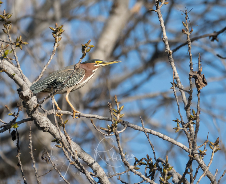 A Green Heron flew into a tall tree