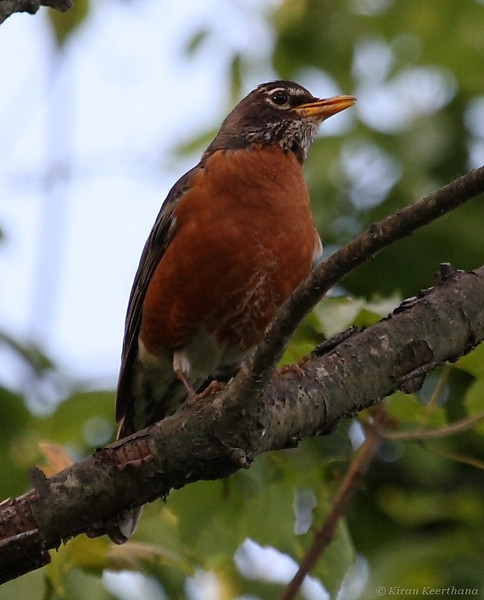 American Robin, Core Creek Park, Bucks County, Pennsylvania, May 2008