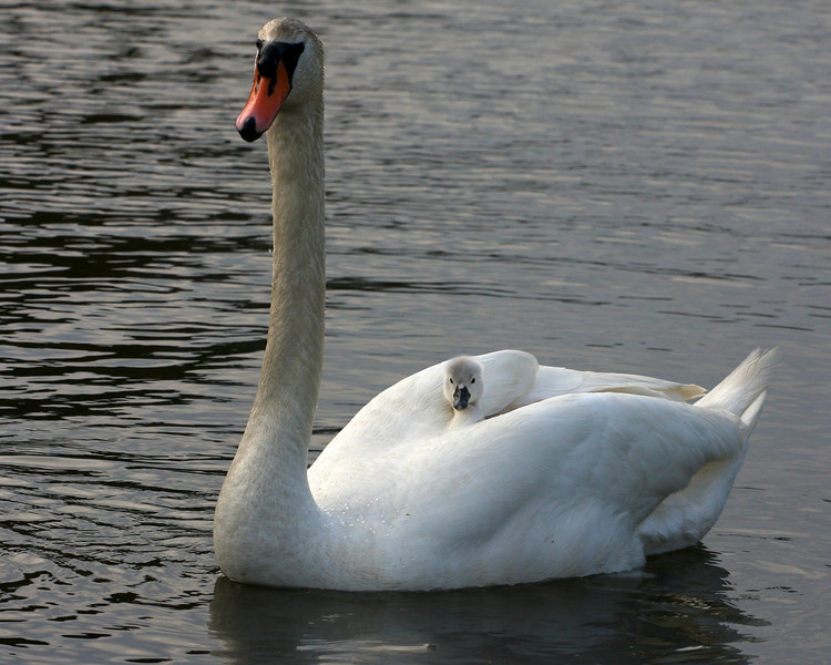 A cygnet hitches a ride on parent swan. Swans and cygnets, Brook Rd, Westhampton Beach.