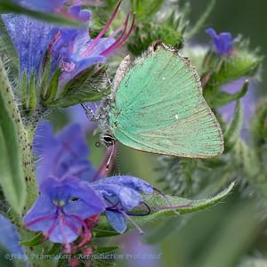 Groentje; Callophrys rubi; Green hairstreak; Thècle de la ronce; Grüne Zipfelfalter; BrombeerZipfelfalter