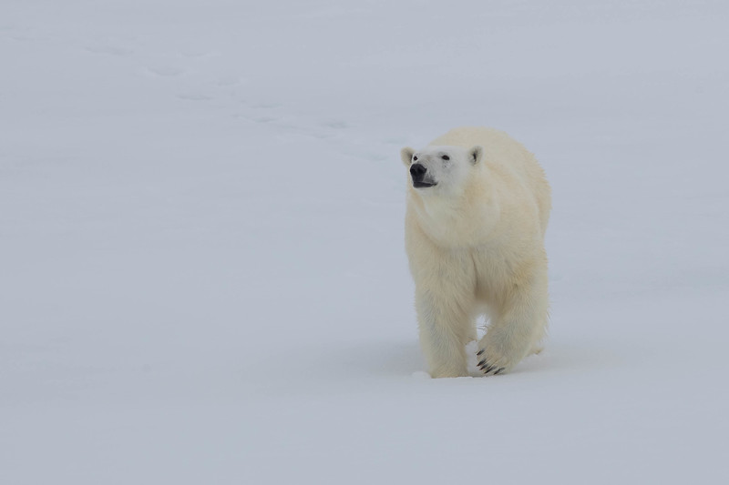 """And nearby, the species that """"made us hold our breath when we saw it first and each time thereafter."""" Our group saw Polar Bear on five captivating days in a row."""