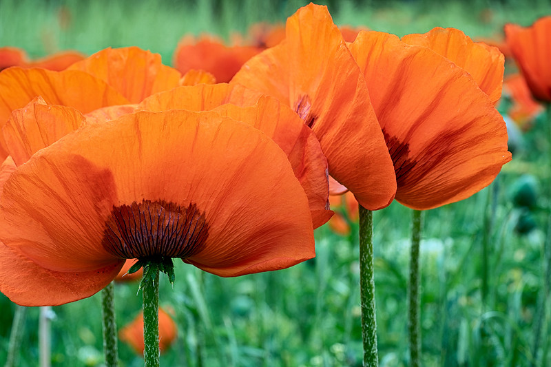 Poppy-05582_1.jpg