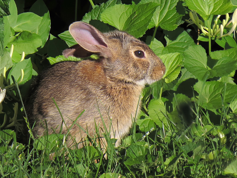 sx50_rabbit_fauna_092.jpg