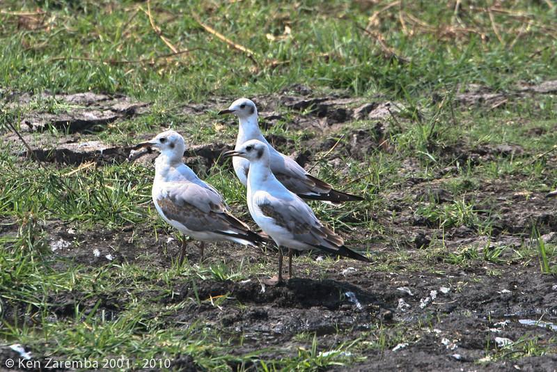 grey-headed gull, immature (chobe)