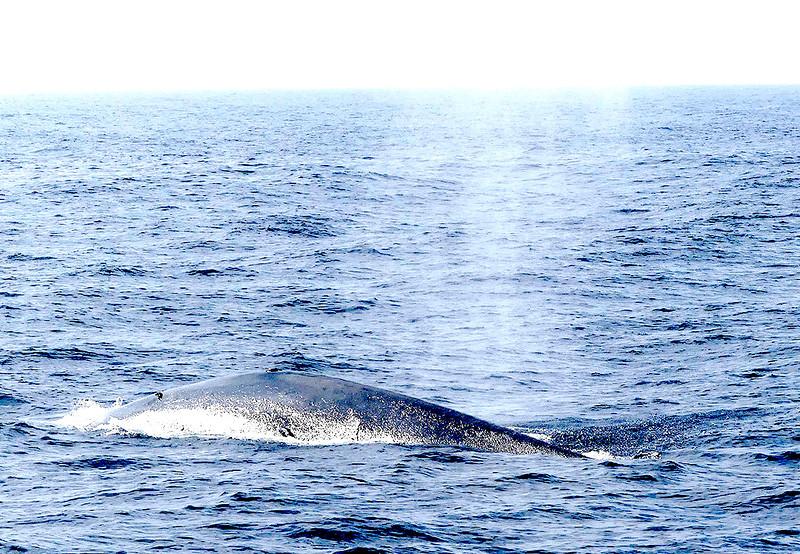 Blue Whale-Mirissa20160123_035.jpg