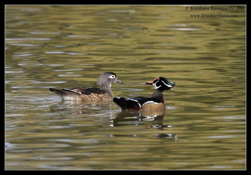 Wood Ducks drake & duck, Lindo Lake, San Diego County, California, November 2011,