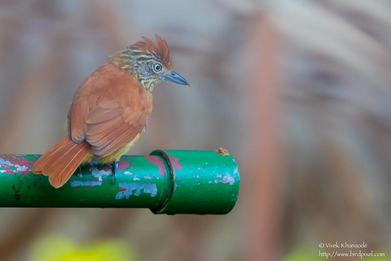 Barred Antshrike -  Female - Asa Wright Nature Center, Trinidad