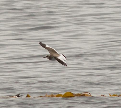 Sabine`s Gull  Orange County Waters 2013 09 21-.CR2-1.CR2