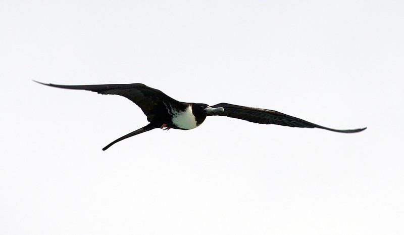Female Frigate bird soaring
